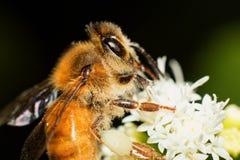 Fuzzy Pollen Fotos de archivo libres de regalías