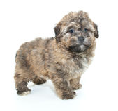 Fuzzy Puppy Stock Photography