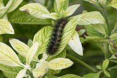 Fuzzy Salt Marsh Moth Caterpillar que se arrastra en un pasto verde claro Imágenes de archivo libres de regalías