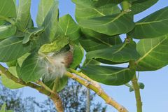 Fuzzy Seed Parachutes d'un Milkweed géant Photographie stock libre de droits