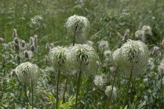 Fuzzy Seeded Mountain Plants Look come una zazzera fotografia stock libera da diritti