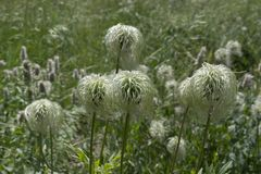 Fuzzy Seeded Mountain Plants Look zoals een Zwabber royalty-vrije stock fotografie