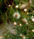 Fuzzy Seeds in un fiore Fotografia Stock Libera da Diritti