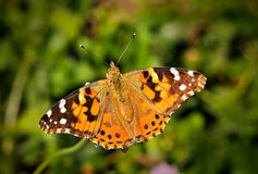 Fuzzy Spotted Orange Spring Butterfly on Flowers. Fuzzy Spotted Orange Spring Butterfly sitting on Green Vegetation with wings spread open and aperture blurred Stock Image