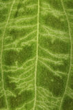 Fuzzy surface of a green leaf as a background. Fuzzy surface of a green leaf with a pattern of veins as a background Royalty Free Stock Photo