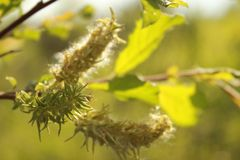 The fuzzy, tender buds of the Salix Triander tree are a variety of willow. Natural Ecological Background royalty free stock photos