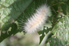 Fuzzy White Caterpillar. A fuzzy white caterpillar munches on wild grapevine leaves Stock Photos