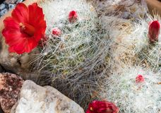 Fuzzy white cactus with bright red flower royalty free stock photography