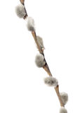 Fuzzy willow on branch isolated on white background Stock Images