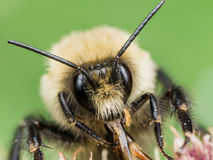 Fuzzy Yellow Bumble Bee führt rote Mundpartien vor lizenzfreie stockbilder