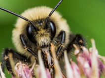Fuzzy Yellow Bumble Bee shows off Red Mouthparts Stock Images