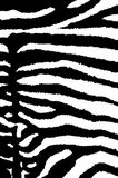 Fuzzy Zebra. Skin detail and high contrast vector illustration