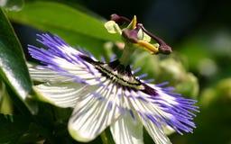 FV de bloem van de hartstocht Royalty-vrije Stock Afbeeldingen