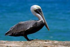 Fwhite black pelican whit black eye Royalty Free Stock Photo