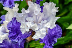 FX Schreiner Bearded Iris. Flower in full bloom, purple and white flower petals, blurred flowers in background Royalty Free Stock Image