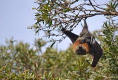 垂悬从树的男性Fying Fox (果实蝙蝠) 免版税库存图片