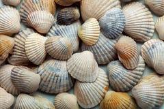 Fyllda texturen för hav den cockleshell Royaltyfria Foton