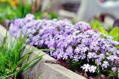 Fyller art av dianthusen som blommar i vår, trädgården med en läcker kryddnejlikadoft Royaltyfri Bild