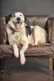 Fyllig hund Arkivbild