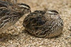 fylliga quails två Arkivfoto