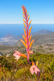 Fynbos在南非 免版税库存图片