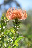 Fynbos Photos stock