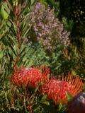 Fynbos bukett Royaltyfria Bilder