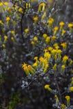Fynbos d'incana de Pteronia Photos stock