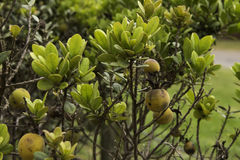 Fynbos della pianta del cainito Fotografie Stock