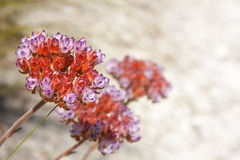 Fynbos flower Royalty Free Stock Photo