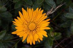 Fynbos flower Royalty Free Stock Photos