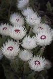 Fynbos flower Stock Photo