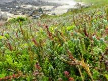 Fynbos na Wschodniej przylądek plaży Zdjęcia Stock