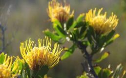 Fynbos-Nadelkissen - Silberbaumgewächse Stockbilder