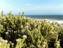 Fynbos at the ocean Stock Image