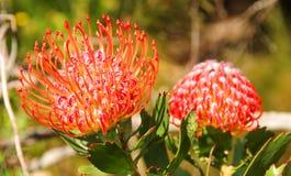 Fynbos Pincushion - Protea Family Royalty Free Stock Photo