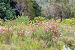 Fynbos and protea plants in the Kirstenbosch Botanical Gardens Royalty Free Stock Image