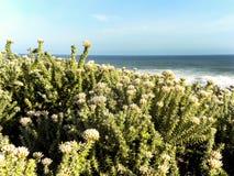 Fynbos przy oceanem Obraz Stock