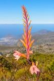 Fynbos w Południowa Afryka Obraz Royalty Free