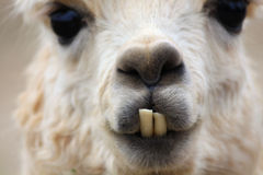 Anyone here needs the dentist, Funny lama in Chile Royalty Free Stock Images