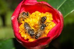 Fyra bin som samlar honung inom blomman Royaltyfri Foto
