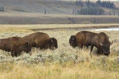 Fyra bison som betar nära Lamar River, Yellowstone medborgarePA Fotografering för Bildbyråer