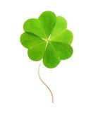 Fyra-blad grön växt av släktet Trifolium. Royaltyfri Bild