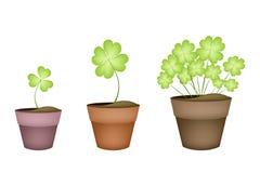 Fyra bladväxter av släktet Trifolium i tre keramiska krukor Arkivfoto