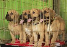 Fyra Boerboel puppyes Arkivbilder