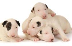 Fyra Bull terrier valpar som spelar över vit bakgrund arkivfoton