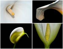 Fyra Calla Lillies Arkivbild