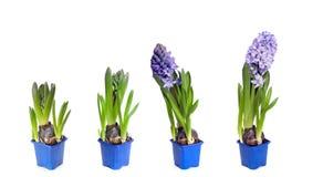 Fyra etapper av hyacintblomningar Fotografering för Bildbyråer