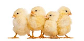 Fyra fågelungar i rad (8 gamla dagar), isolerat Royaltyfria Foton