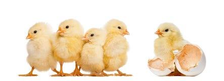 Fyra fågelungar i rad (8 gamla dagar) och andra stående ensam nex Royaltyfri Bild